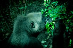 Gorilla Smelling Leaves in the Greenery Royalty Free Stock Photography