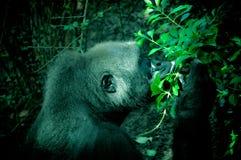 Gorilla Smelling Leaves nella pianta Fotografia Stock Libera da Diritti