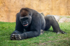 Gorilla smile. Gorilla smiling to the visitors, laying on grass at the zoo Royalty Free Stock Images