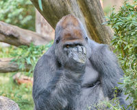 Gorilla, Smithsonian National Zoo, Washington, D.C. Royalty Free Stock Photo