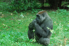 Gorilla Snacking on Young Leaves Stock Images