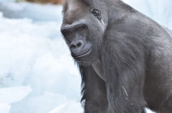 Gorilla in snow. A young male western lowland gorilla stands in the snow Royalty Free Stock Photo