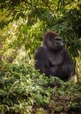 Gorilla som ser in i skog royaltyfria bilder