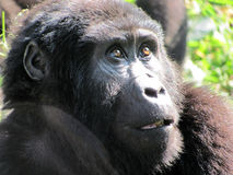 Gorilla som ser upp Arkivbild
