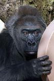 gorilla som stairing Royaltyfria Bilder