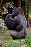 Gorilla. A gorilla standing and having lunch Stock Photography