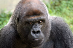 Gorilla Stare Royalty Free Stock Images