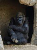 Gorilla Stare Imagem de Stock