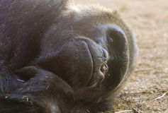 A Gorilla Stares as it Lies on the Ground Stock Photos