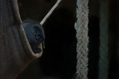 Gorilla stares out from shady rope hammock Stock Images