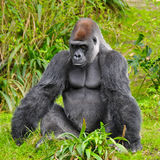 Gorilla Staring. At the camera with an angry look on his face Royalty Free Stock Images