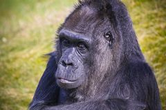 Gorilla staring looking into the camera lens head portrait with out of focus green grass background. Gorilla pensive suspicious. royalty free stock photography