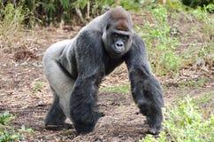 Gorilla-Starren Stockfoto
