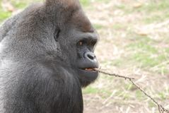 Gorilla and stick Royalty Free Stock Image