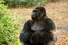 Gorilla stoica Fotografia Stock