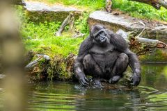 Gorilla on a stone on the edge of the pool stock images
