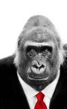 Gorilla in Suit and Tie Stock Image
