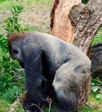 Gorilla sul movimento fotografia stock libera da diritti