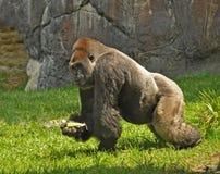 Gorilla sul movimento, Tampa Florida Fotografie Stock