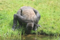 Gorilla Drinking Water stock photography