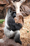 Gorilla in Tenerife Loro zoo park Royalty Free Stock Image