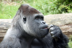 Gorilla the thinker. Gorilla with bown eyes thinking what to do Stock Photography