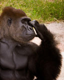Gorilla Thinker. A quite, contemplative moment for the dominant male gorilla in the main gorilla enclosure at the Gladys Porter Zoo in Brownsville, TX Royalty Free Stock Photo