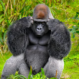 Gorilla Thinking. Silverback gorilla appears to be deep in thought with an angry look on his face Stock Photo