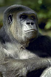 Gorilla Thinking Royalty Free Stock Photo