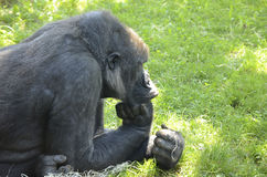 Gorilla thinks. On a grass field in a zoo Stock Photo