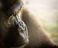 Gorilla in Thought Royalty Free Stock Photos