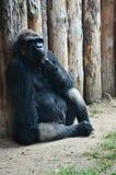 Gorilla tief im Gedanken stockbild