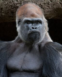 Gorilla - Tough Guy Stock Photo