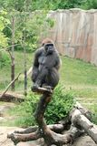 Gorilla on tree. A young male western lowland gorilla Royalty Free Stock Photos