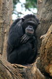 Gorilla in tree Stock Images