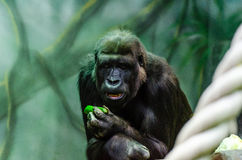 Gorilla in a tree Royalty Free Stock Photography