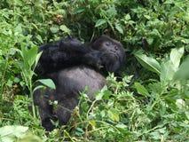 Gorilla Trek. Tourists hiking Gorilla Trek at Volcanoes National Park in Rwanda Royalty Free Stock Images