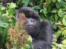 Gorilla Trek. Tourists hiking Gorilla Trek at Volcanoes National Park in Rwanda Stock Images