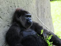 Gorilla with twig Royalty Free Stock Photo