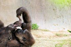 Gorilla u. Schätzchen Stockbilder