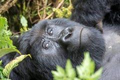 Gorilla in uganda. Gorillas in mgahinga royalty free stock image