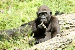 Gorilla umoristica Fotografie Stock Libere da Diritti
