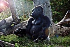 Gorilla und die Einstellung Sun Lizenzfreies Stockfoto