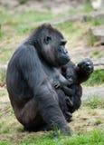 Gorilla und ihr Schätzchen stockfotografie