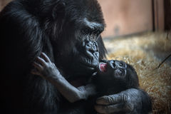 Gorilla und sein Baby Lizenzfreie Stockbilder