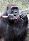 Gorilla unter Verwendung der Hilfsmittel Stockfotos