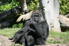 Gorilla in usa Royalty Free Stock Photography