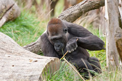 Gorilla using tool. Gorilla using branch as a tool Stock Images