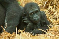 Gorilla van het baby de lage land Stock Foto's