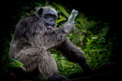 Gorilla is very playful, Gorilla hold empty bottle in his hand. stock photos
